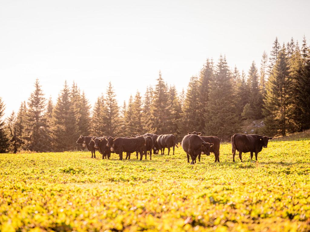 Black Angus Rinder auf der Alm Mariazell